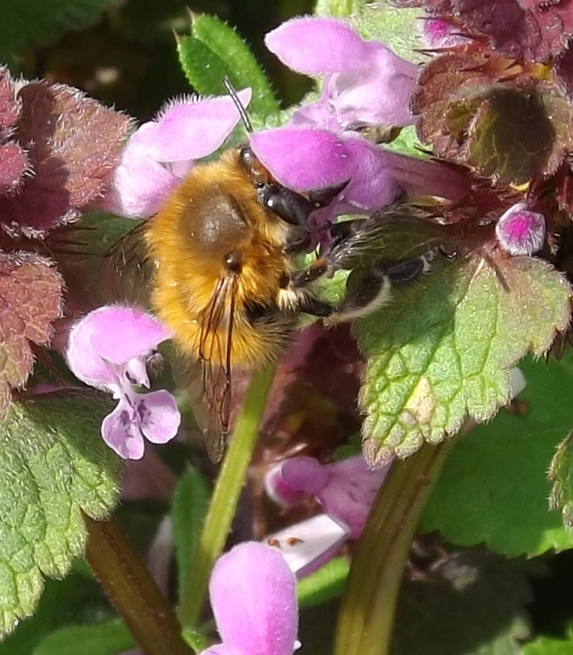 A.plumipes (hairy footed flower bee)