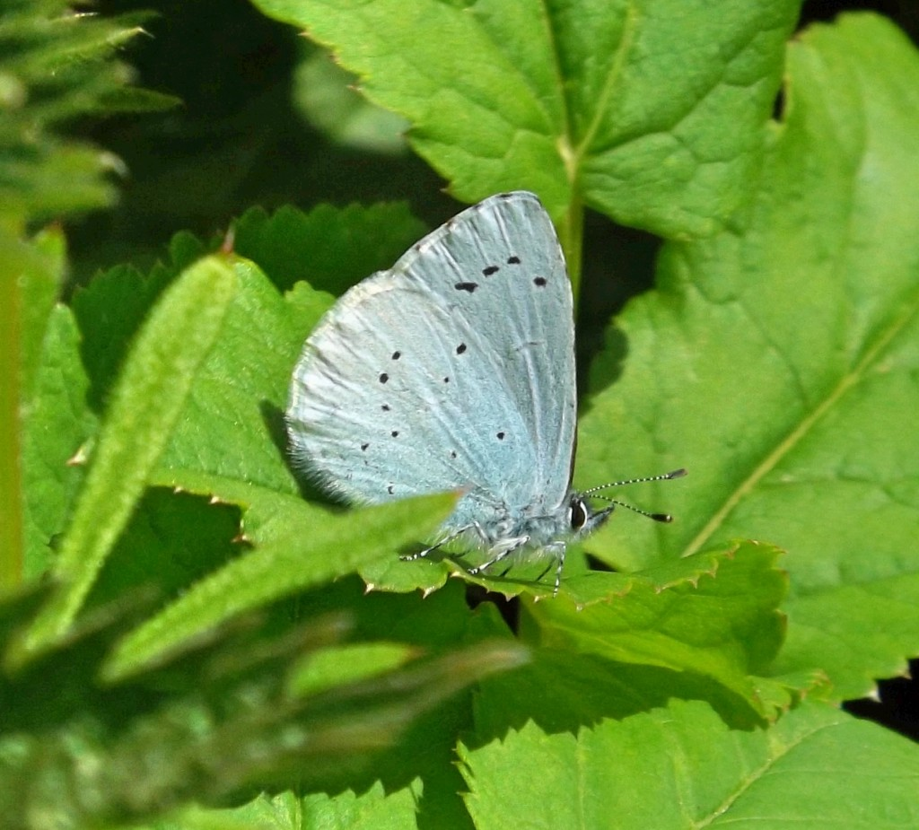 male holly blue