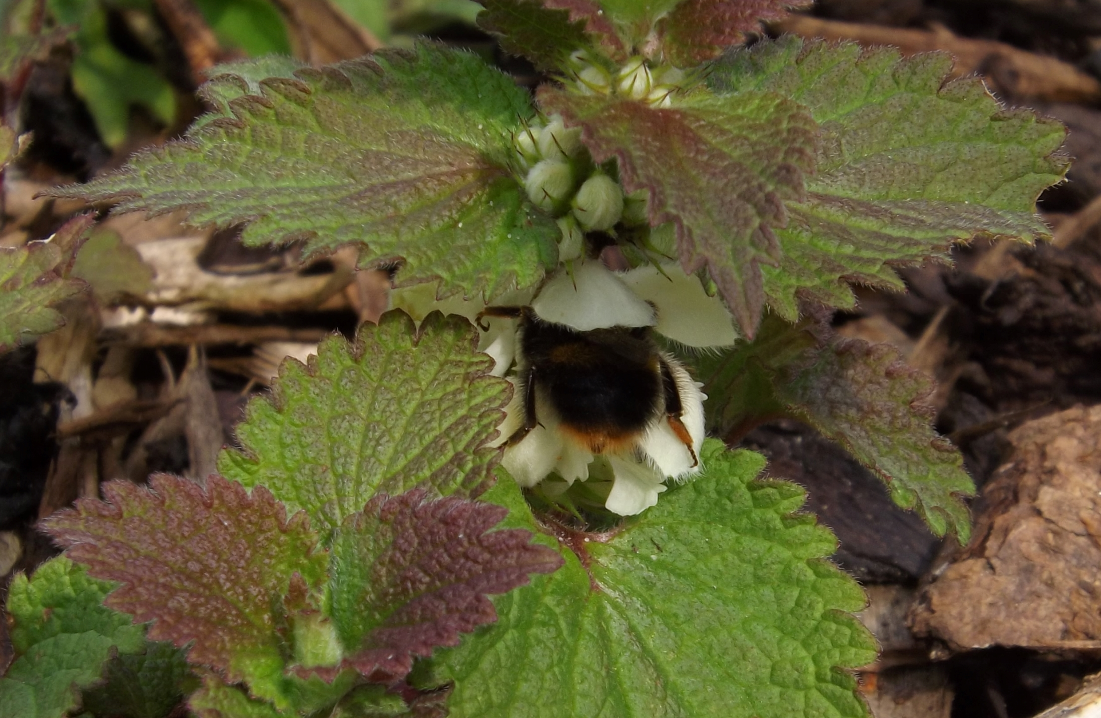 B. lapidarius (red tailed bumblebee) on white dead nettle in the wildlife bed