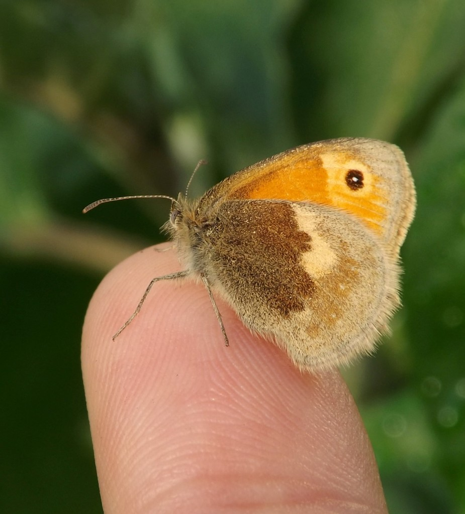 A Small Heath in the hand is worth...