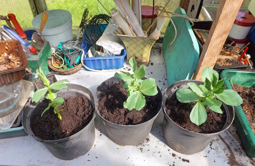 three plants potted up