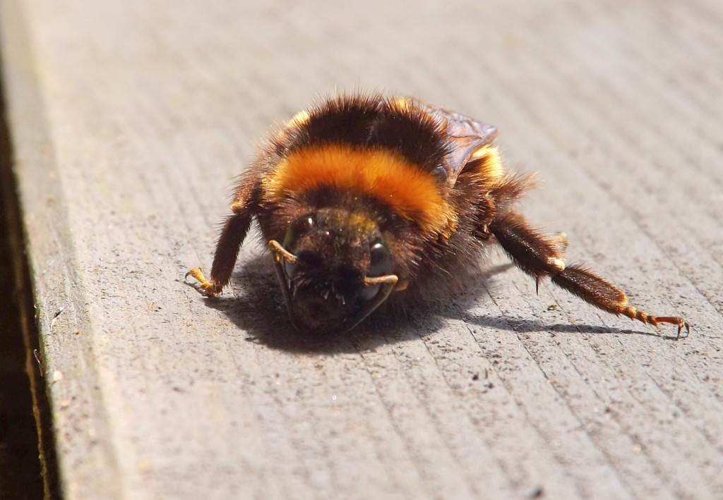 bombus terrestris (buff-tailed bumblebee) on the shed