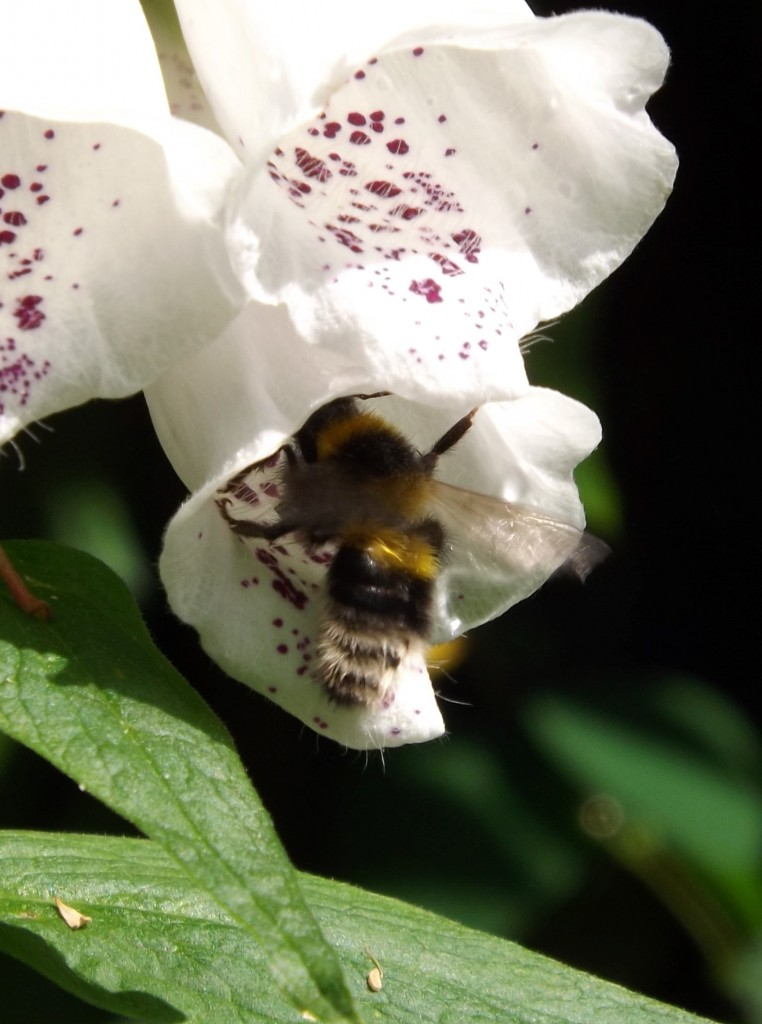 White-tailed bumblebee (bombus lucorum) in a foxglove