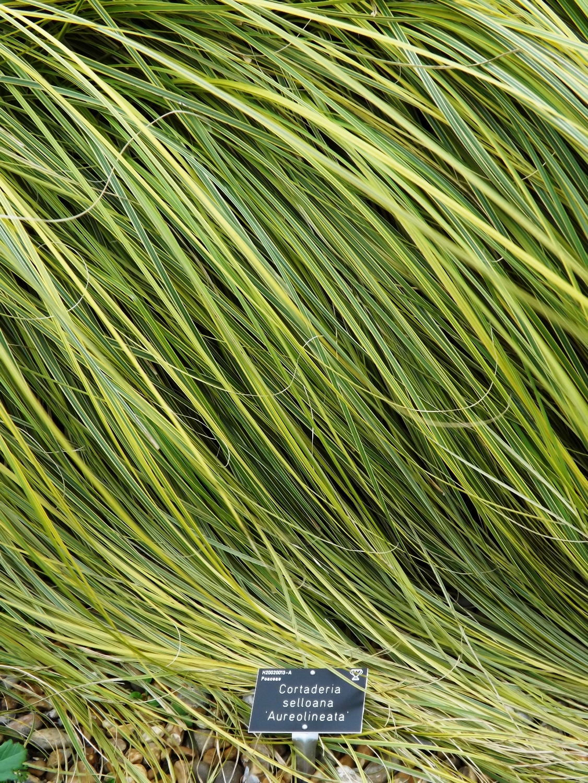 Pampas grass cortaderia selloana 'Aureolineata'
