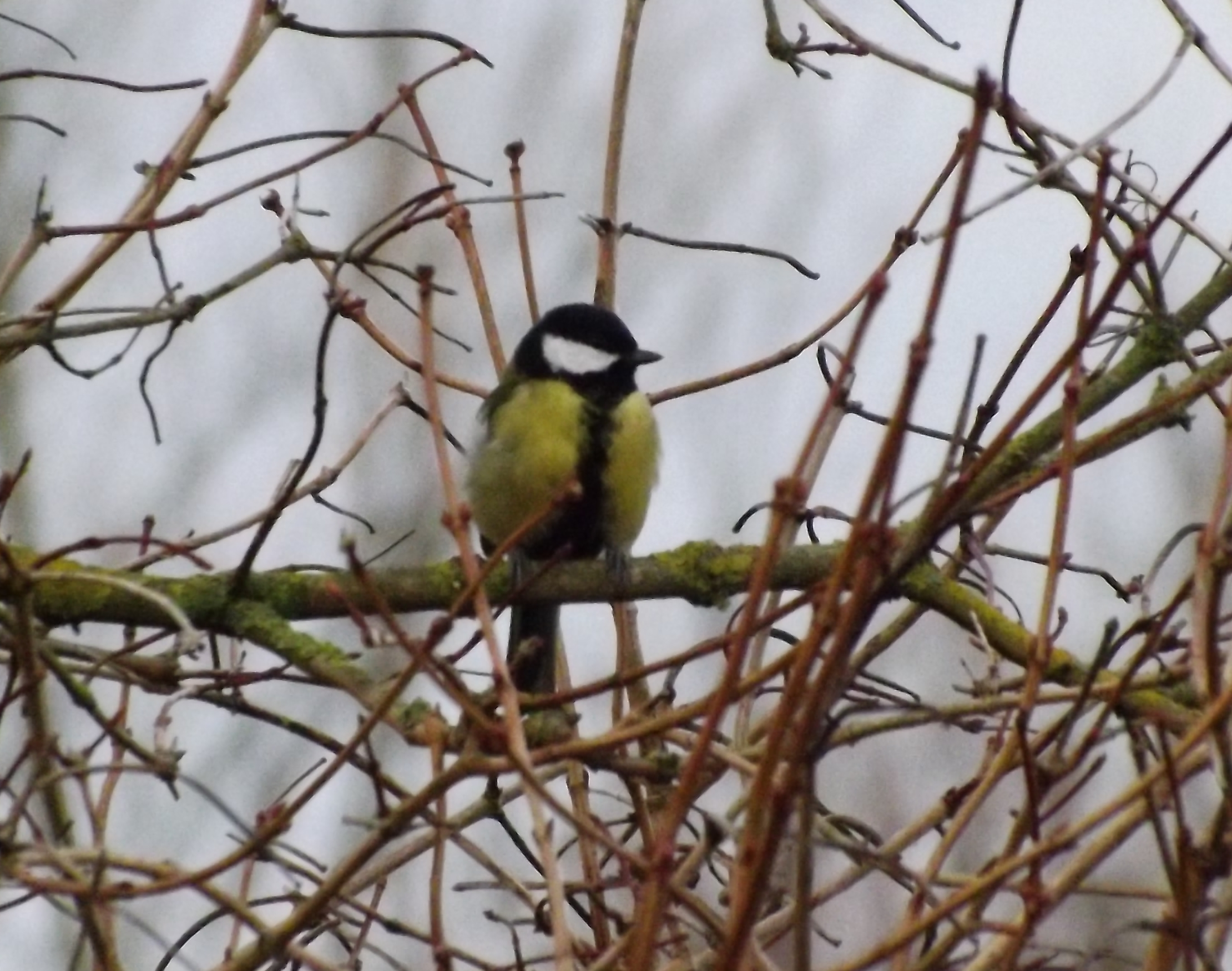 figure 1 - Great Tit (Parus Major)