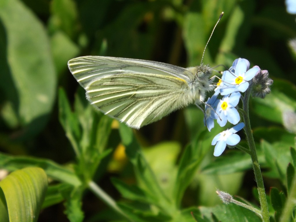 pieris rapae (green-veined white) on forget-me-not