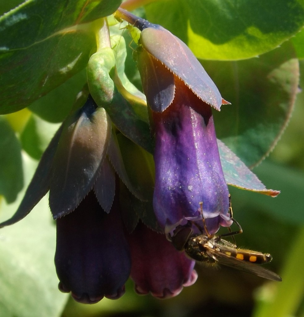 Platycheirus scutatus on cerinthe major
