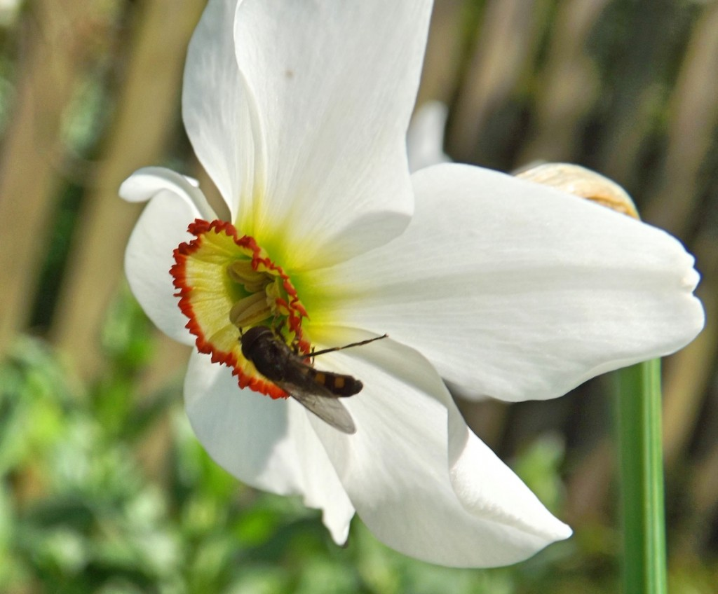 platycheirus scutatus on late flowering daffodil
