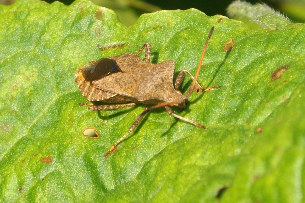 coreus marginatus (dock bug)