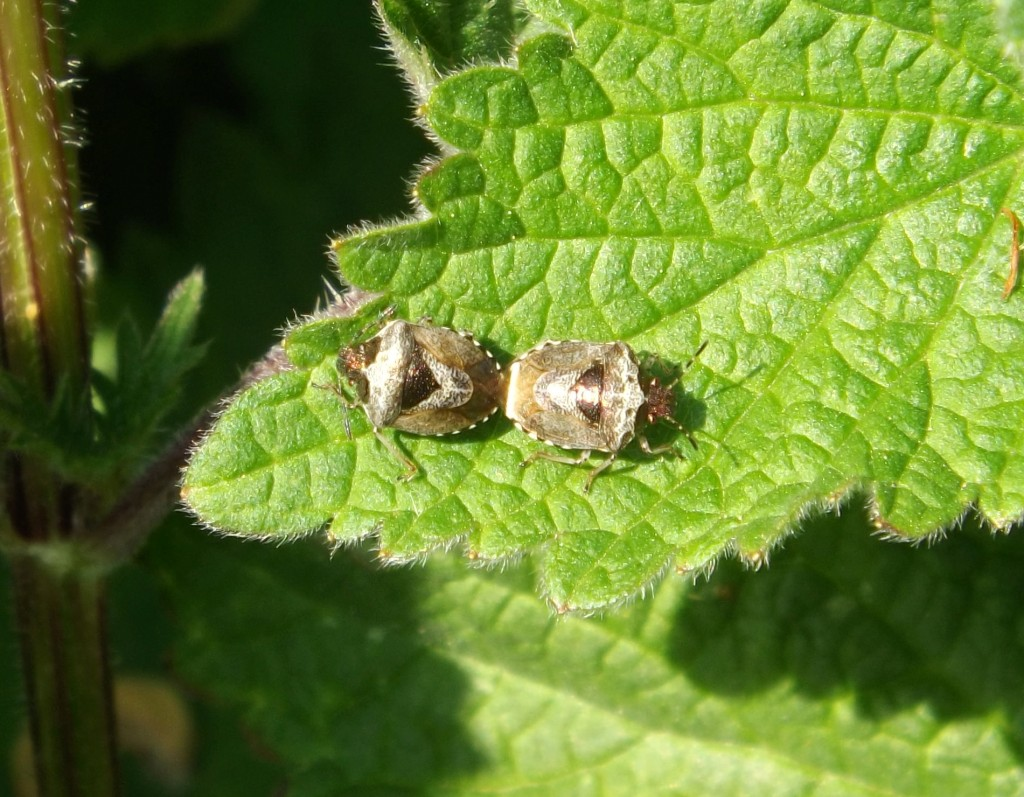 eysarcoris venustissimus (woundwort shieldbug)