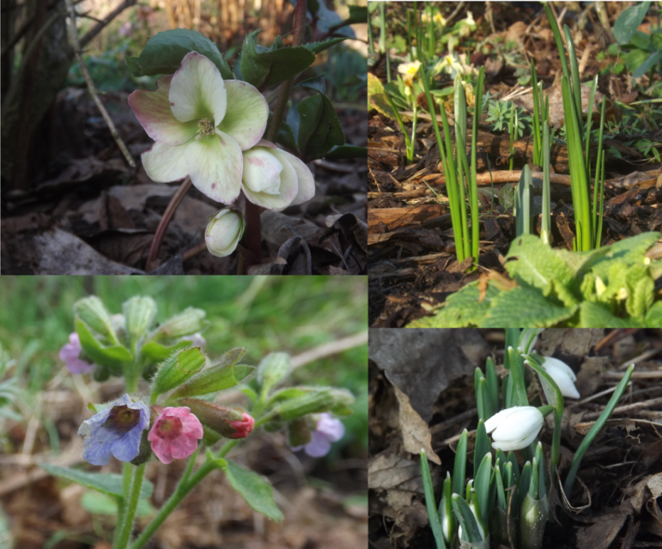 Hellebores, bulbs, snowdrops, 'Soldiers & Sailors'
