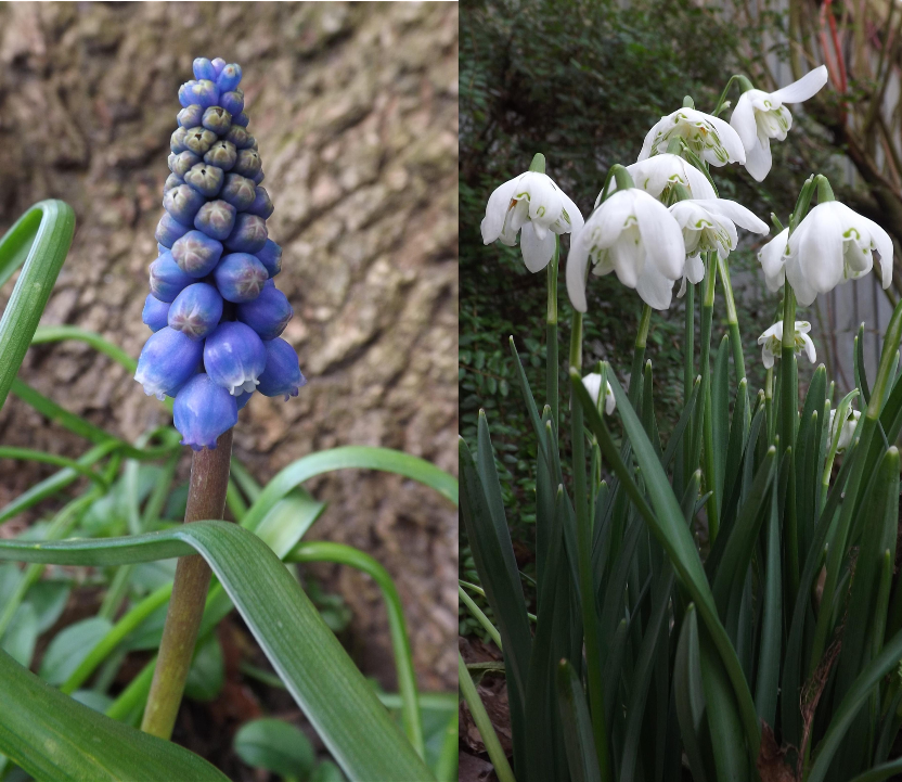 Muscari and snowdrops