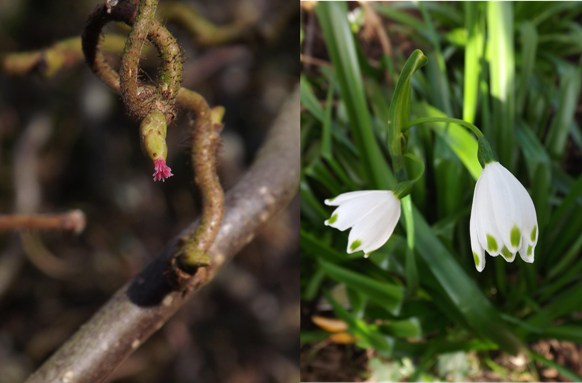 Hazel flower and Spring Snowflake