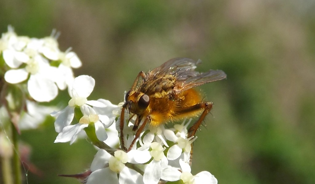 scathophaga stercoraria (Yellow Dung Fly)