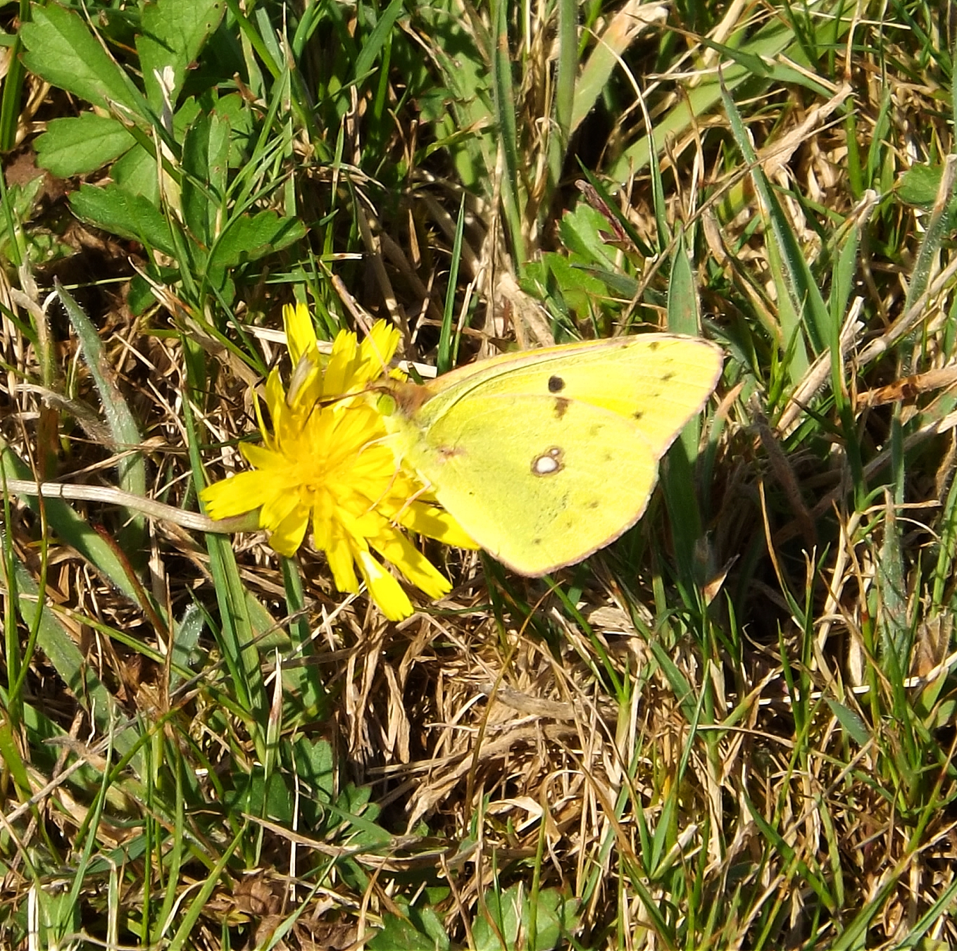 Common Migrant - Clouded Yellow